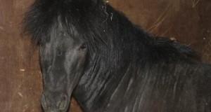 Pony arrivato dall'autostrada