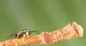 La lotta biologica al Cinipide del Castagno