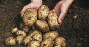 Torriglia, in mostra le patate dal mondo