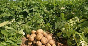 Campomorone, un laboratorio didattico sulle patate
