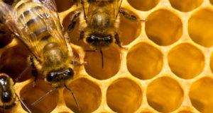 Serra Riccò, domani un convegno sull'apicoltura locale
