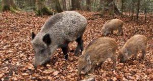 Coldiretti, necessarie azioni immediate per l'emergenza fauna selvatica