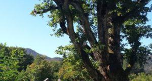 Gli Alberi Moumentali del Geoparco del Beigua