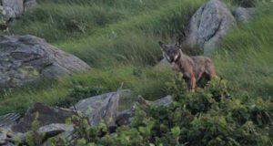 I lupi del Beigua in mostra a Sestri Levante