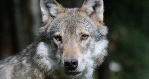 Parco del Beigua, una domenica alla scoperta del lupo