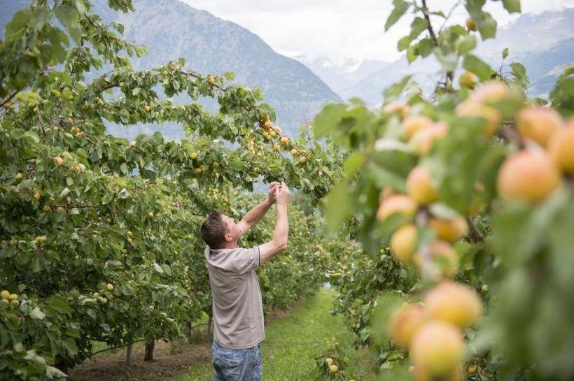 Coldiretti, meno frutta in Italia a causa del clima pazzo