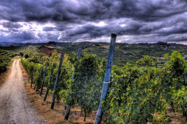 Vendemmia del Moscato, proposta resa di 85 quintali di uva per ettaro