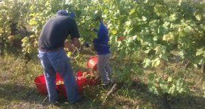 Confagricoltura: prime indicazioni dalla vendemmia, si prospettano ottimi vini